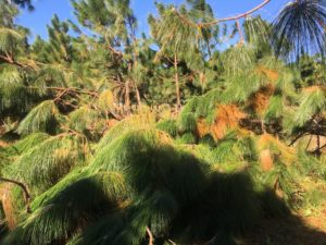 Longleaf pine blown over by hurricane winds