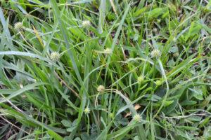 Green Kyllinga plant