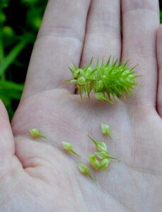 porcupine sedge seedhead