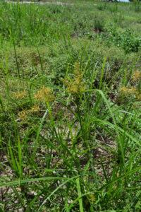 Yellow Nutsedge Plant
