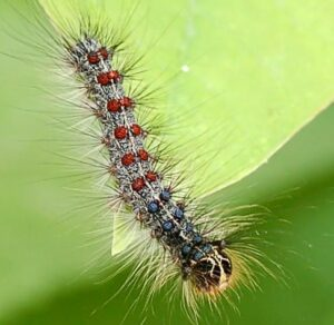 Cover photo for Lymantria Dispar No Longer Called the 'Gypsy Moth'