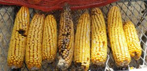 Cover photo for Reducing Aflatoxin in Grain Corn
